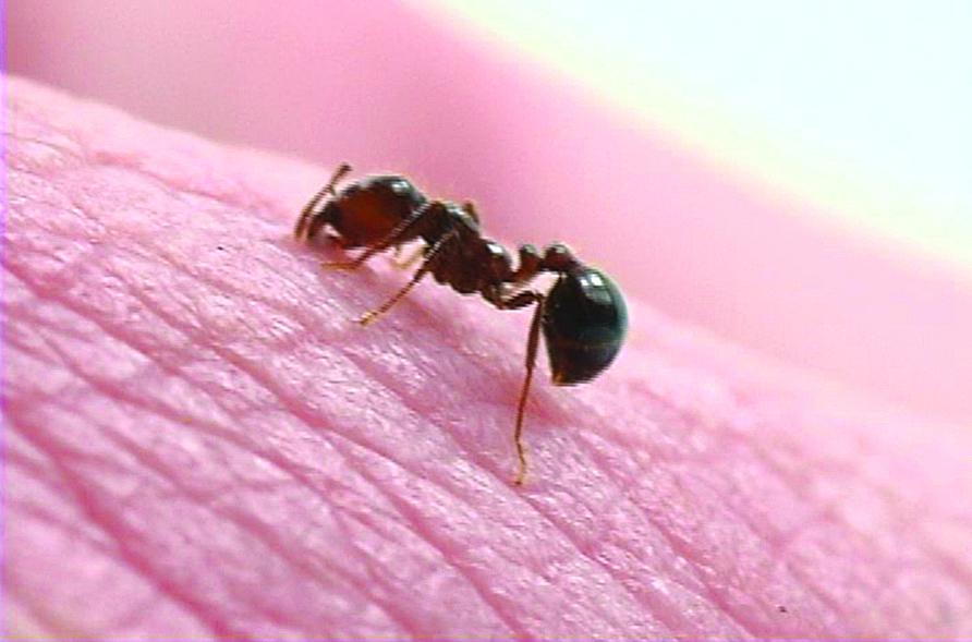do black ants bite - 892×589